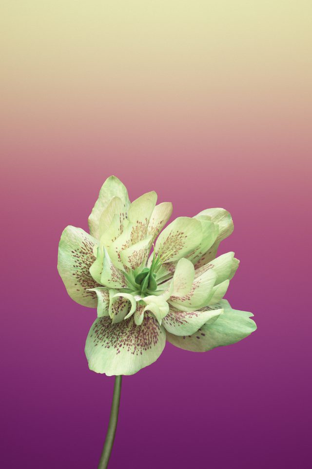 Flower HELLEBORUS Android wallpaper