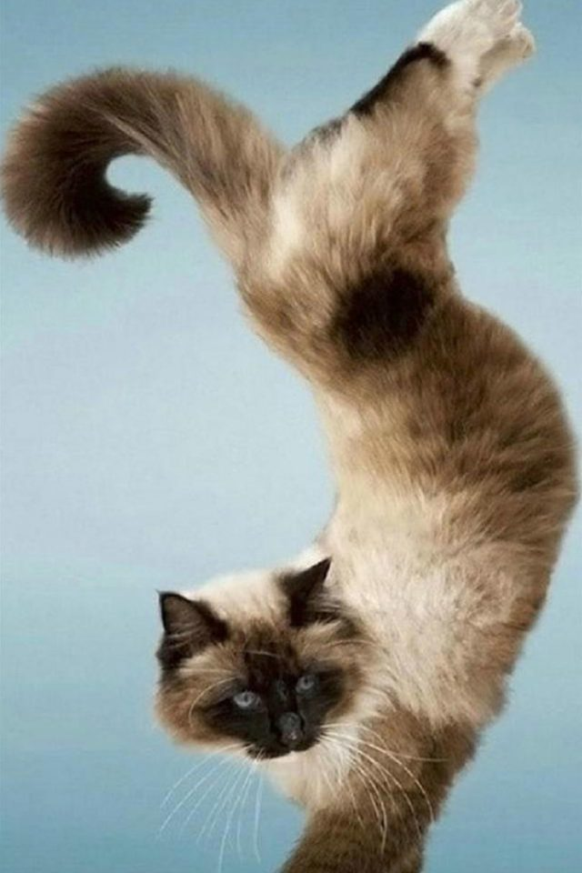 Funny Cat standing up Android wallpaper