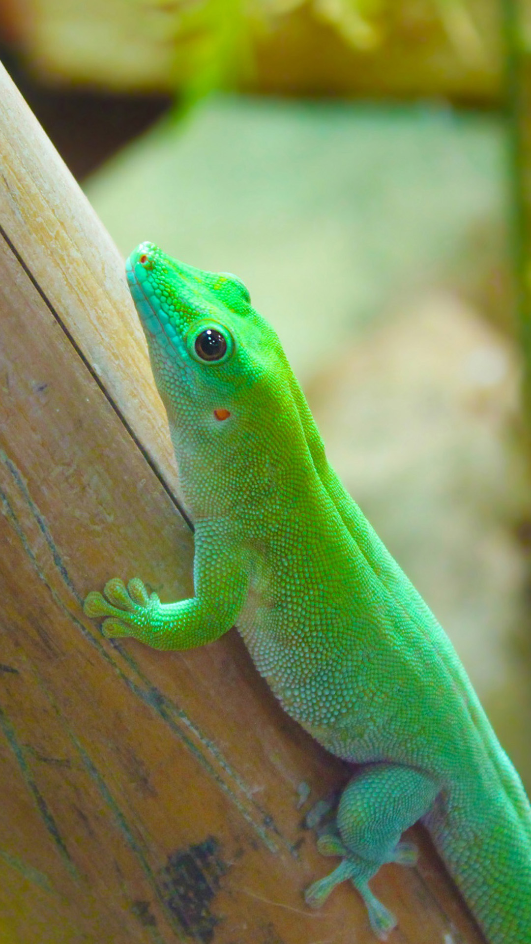 Beautiful Chameleon Reptiles Android wallpaper