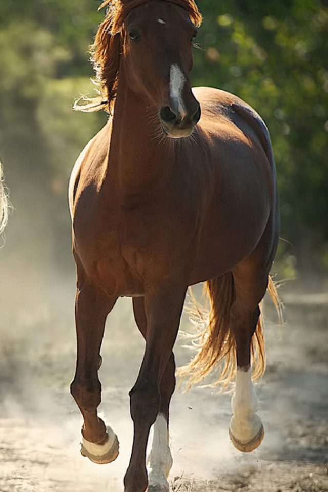 Brown Horse Android wallpaper