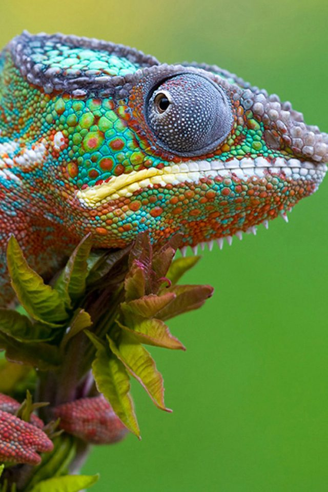 Colored Lizard Android wallpaper