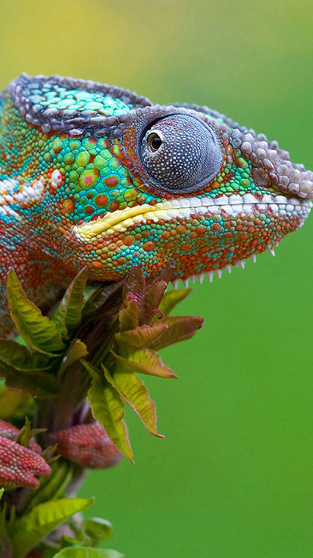 Colored Lizard Android wallpaper Android HD wallpapers