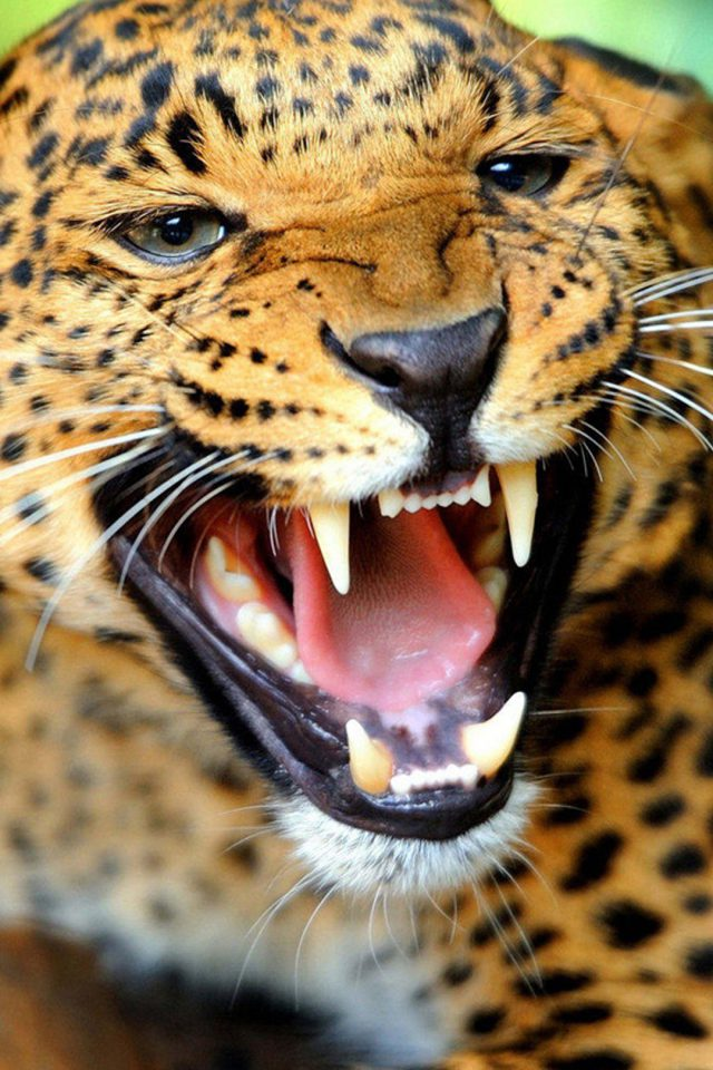 Crazy Angry Leopard Android wallpaper