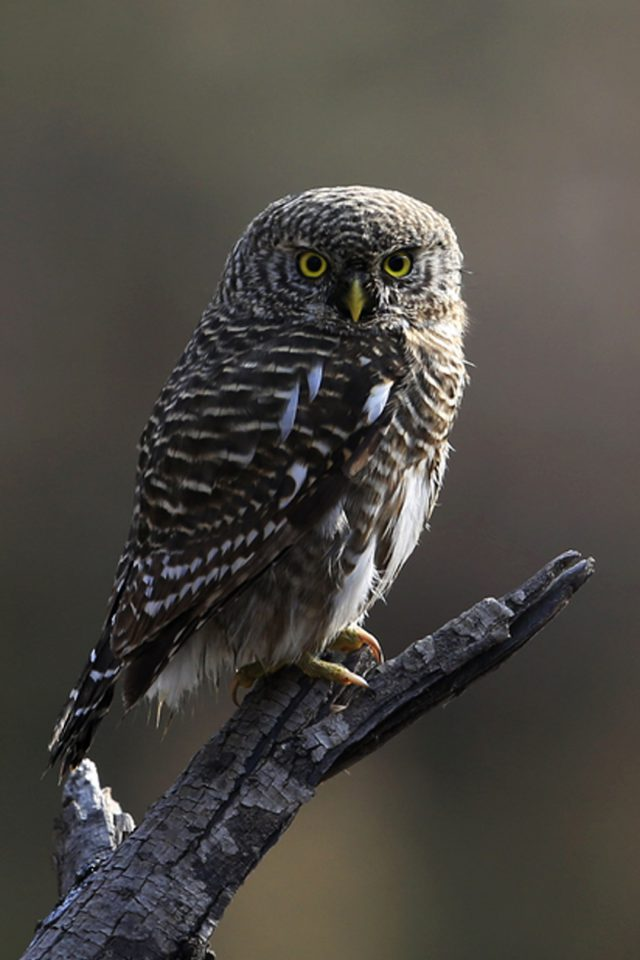 Interesting Young Owl Android wallpaper