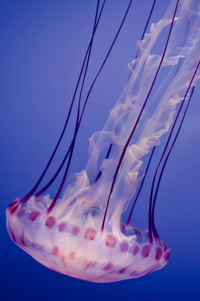 Jellyfish Android wallpaper