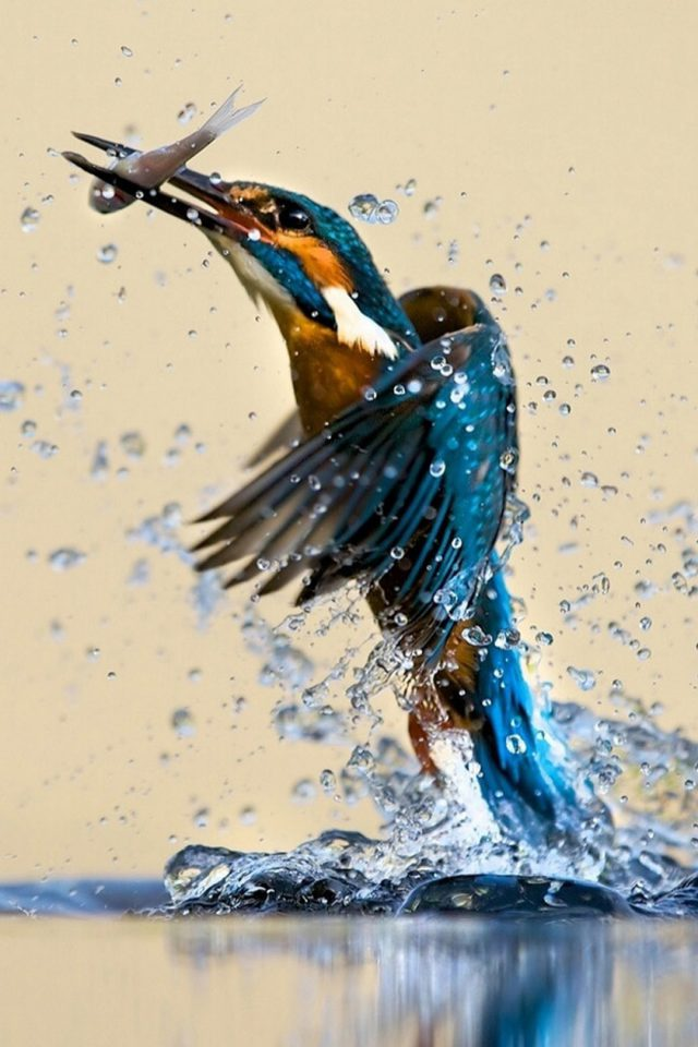 Kingfisher Android wallpaper