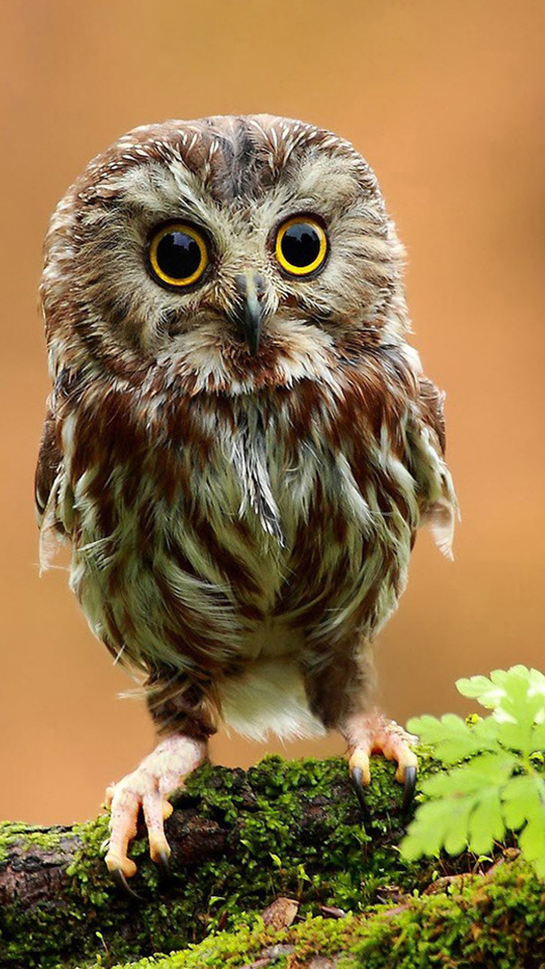 Little Owl In Gods Eyes Android wallpaper