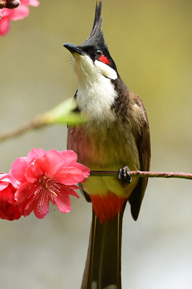Primula Bird Android wallpaper