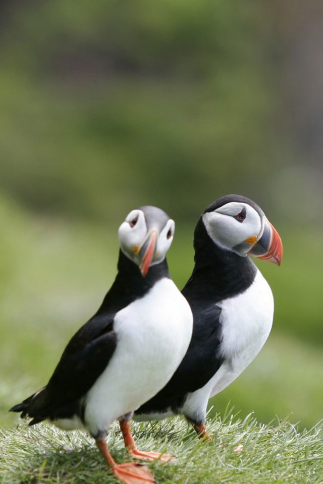 Puffins Couple Android wallpaper