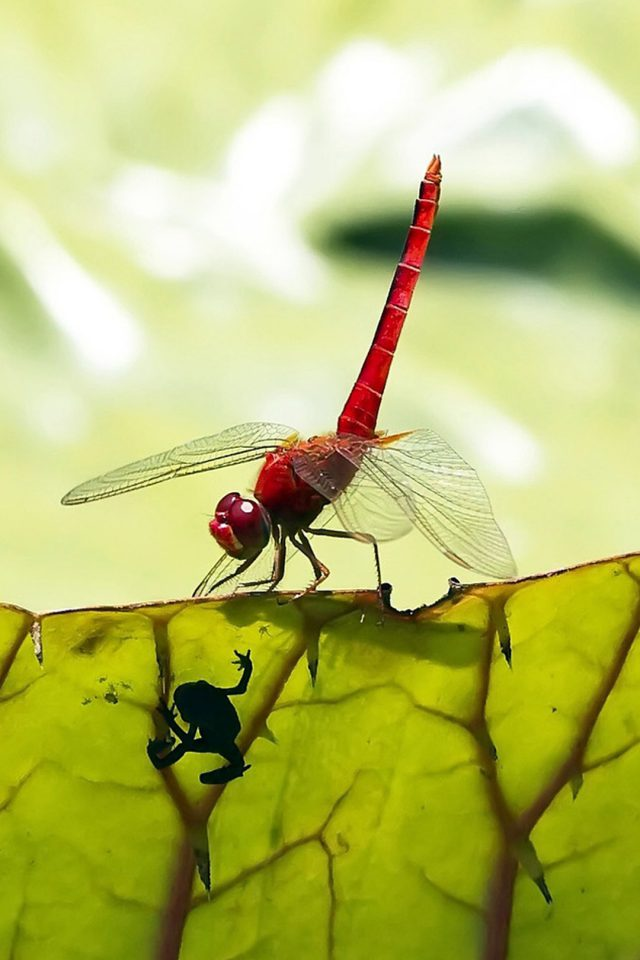 Red Dragonfly Android wallpaper