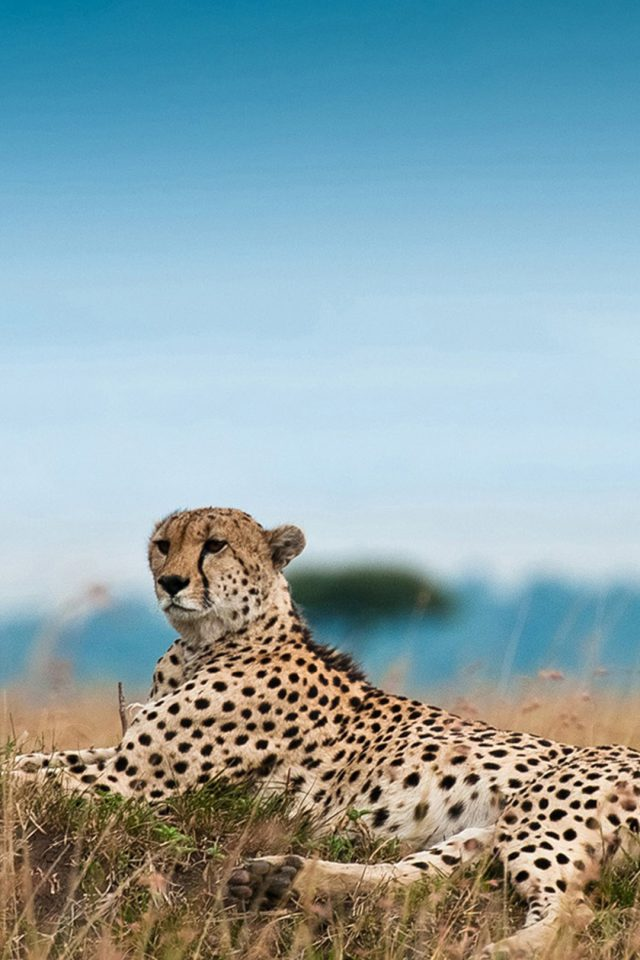 South Africa Leopard Android wallpaper