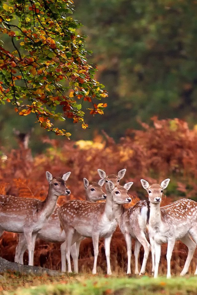 Wild Deer Android wallpaper