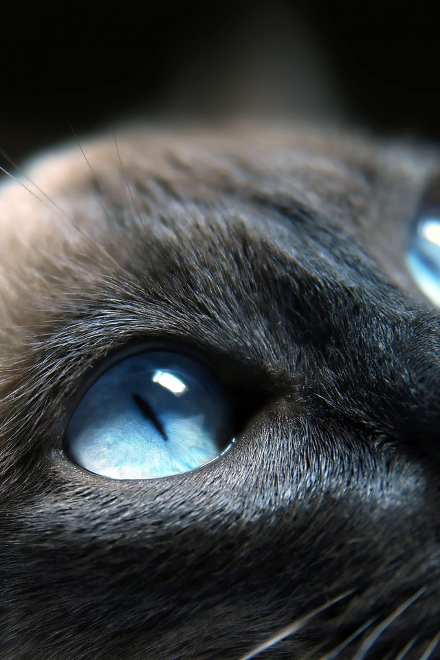 Cats Blue Eye Cute Android wallpaper