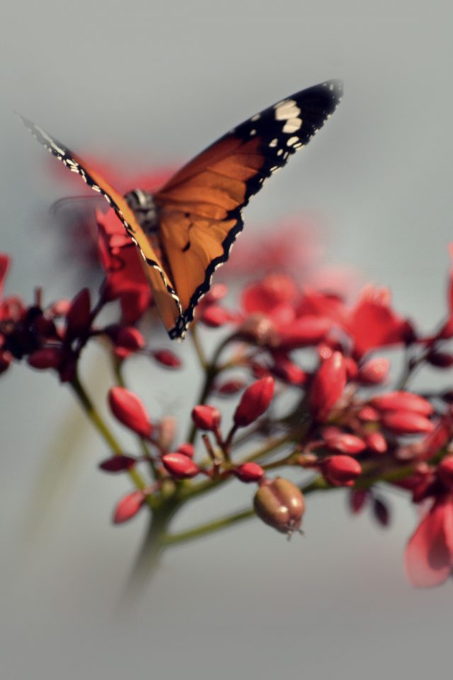 Nature Butterfly Flower Red Android wallpaper