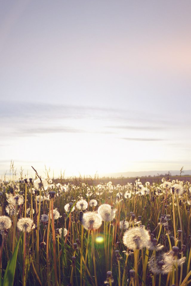 Nature Love Flower Flare Dandelion Android wallpaper