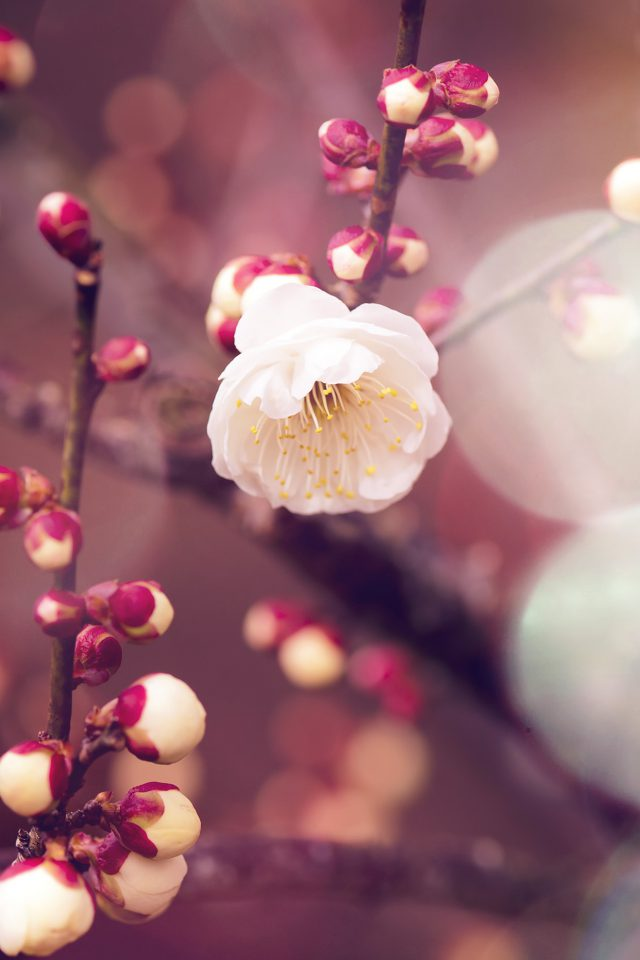 Apricot Flower Bud Flare Spring Nature Twigs Tree Android wallpaper