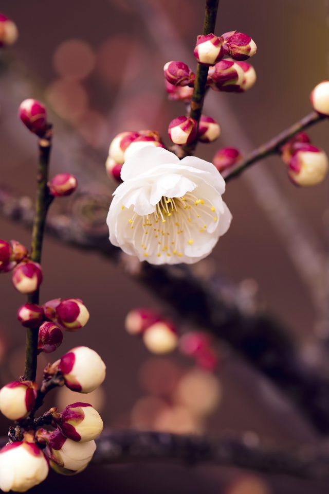 Apricot Flower Bud Spring Nature Twigs Tree Android wallpaper