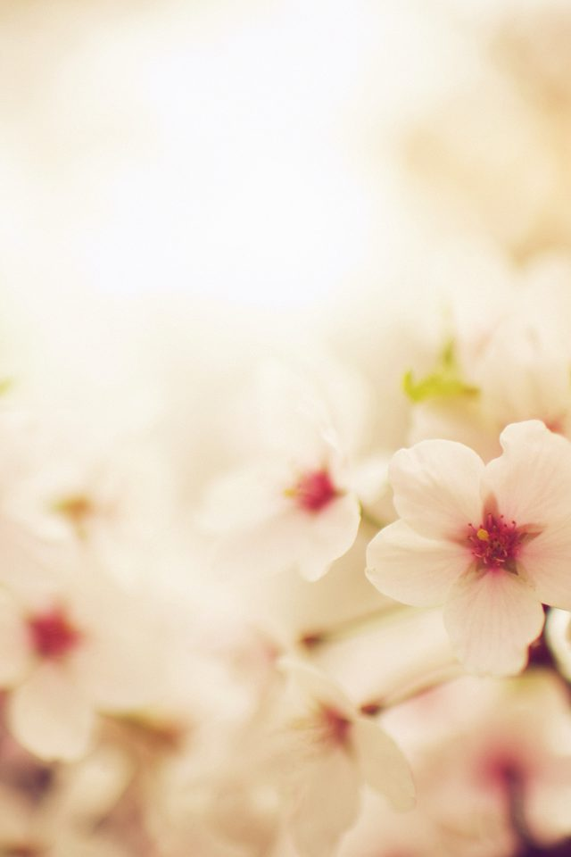 Blossom Cherry Spring Red Sakura Nature Flower Android wallpaper