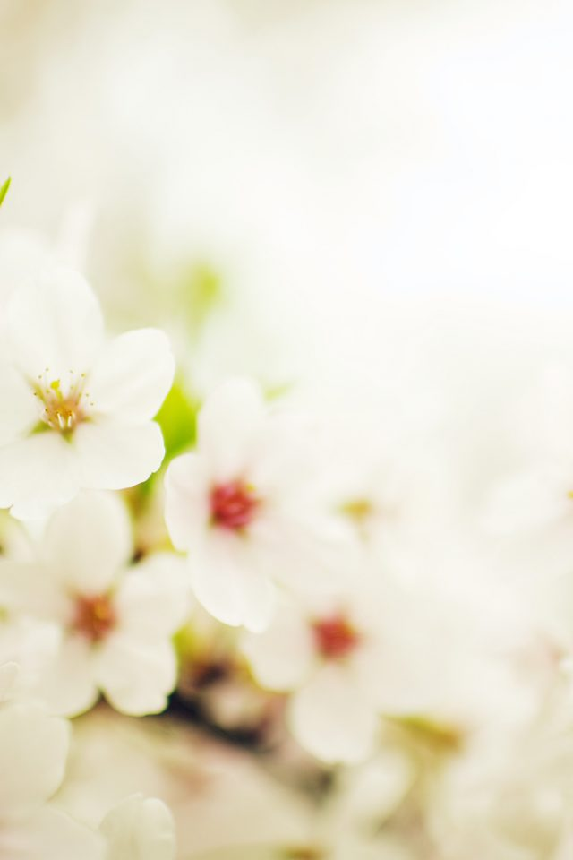 Blossom Cherry Spring Sakura Nature Flower Android wallpaper