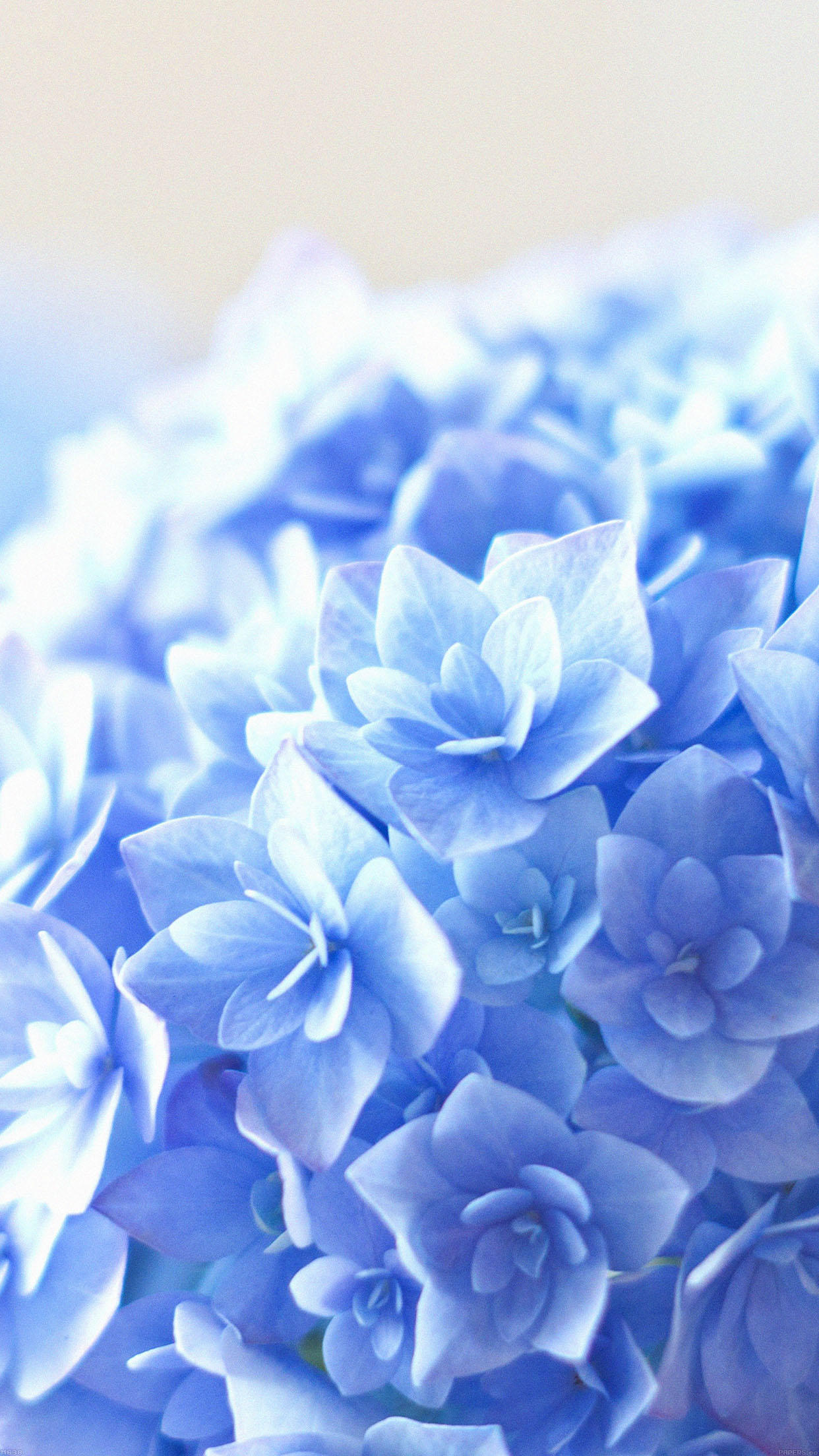 Blue Hortensia Flower Beautiful Nature Android wallpaper