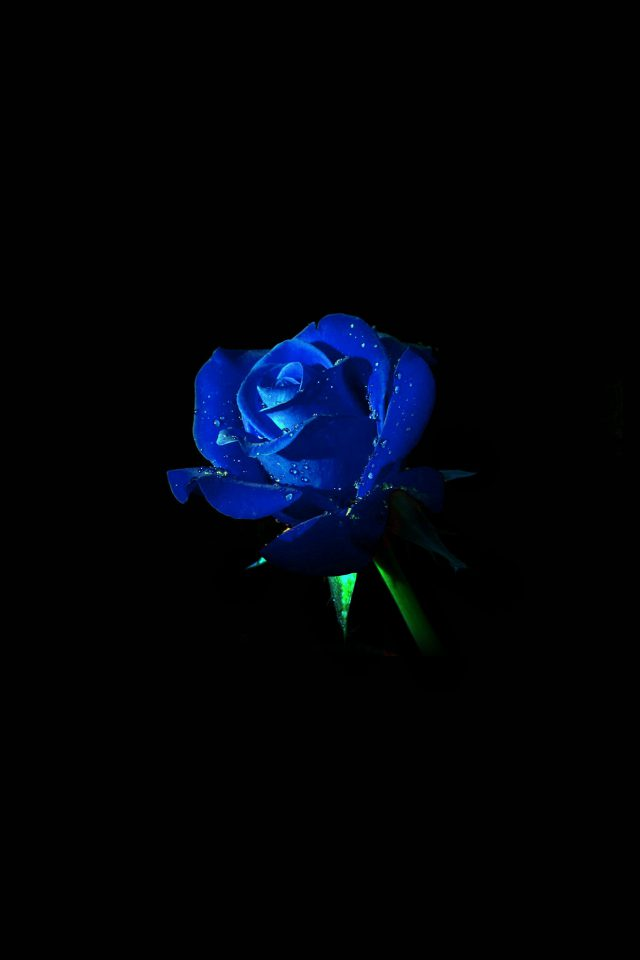Blue Rose Dark Flower Nature Android wallpaper