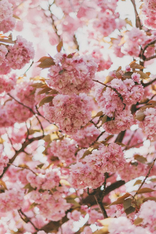 Cherry Blossoms Sakura Japan Android wallpaper
