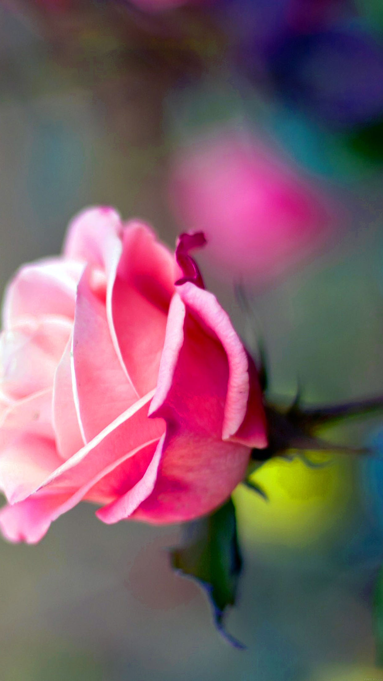 Close Up Pink Rose Flower Nature Android wallpaper