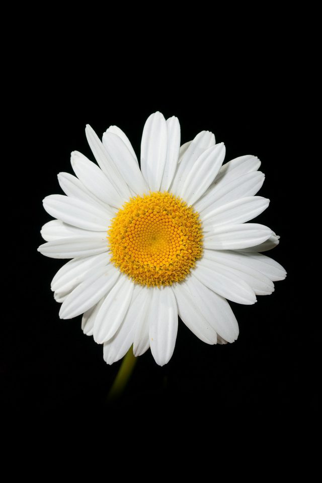 Daisy Flower Dark Nature Android wallpaper