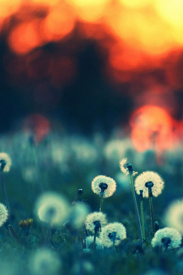 Dandelion Family Flower Nature Android wallpaper