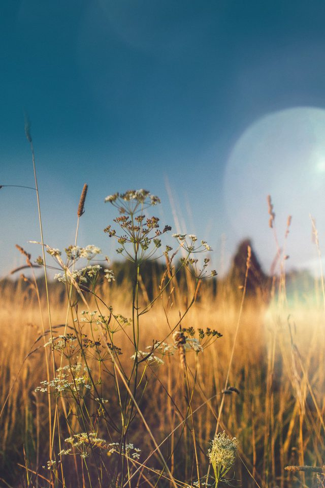 Fall Field Nature Flower Reed Sunny Flare Android wallpaper