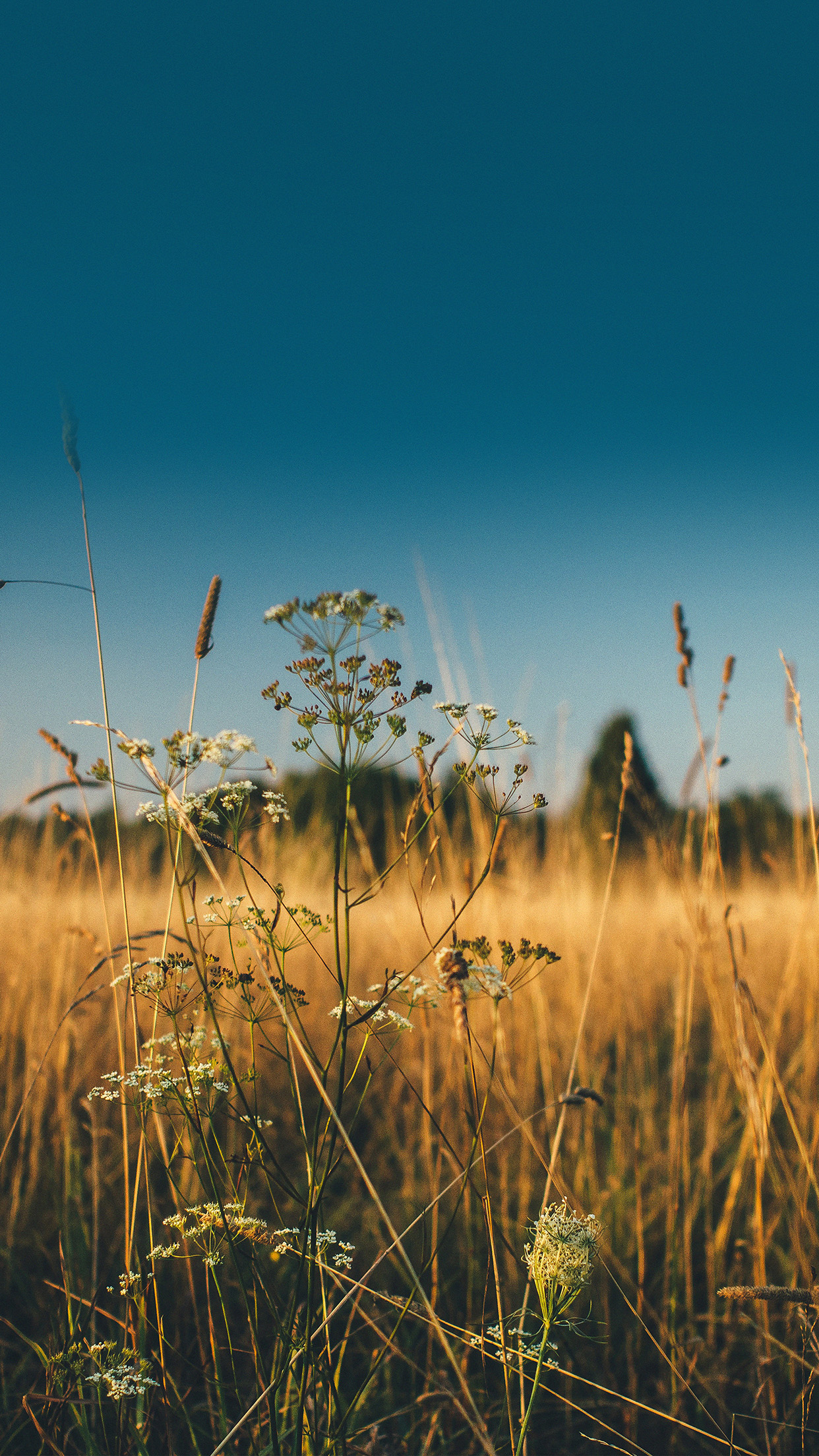 Fall Field Nature Flower Reed Sunny Android wallpaper