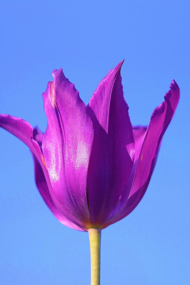 Purple Tulip Flower Blue Sky Android wallpaper