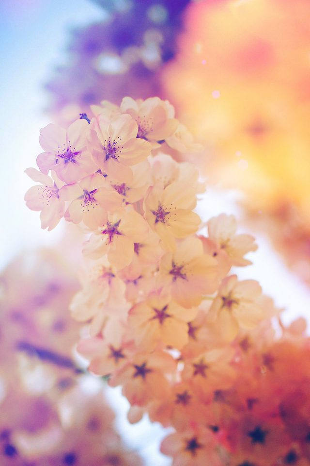 Flower Blossom Cherry Blue Flare Tree Nature Android wallpaper