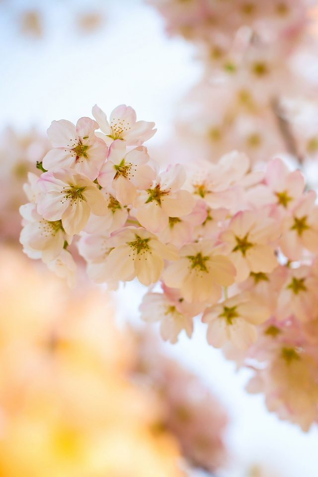 Flower Blossom Cherry Tree Nature Android wallpaper