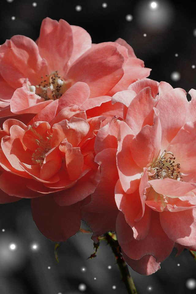 Flower Pink Snow Nature Art Android wallpaper