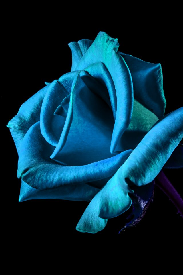 Flower Rose Blue Dark Beautiful Best Nature Android wallpaper