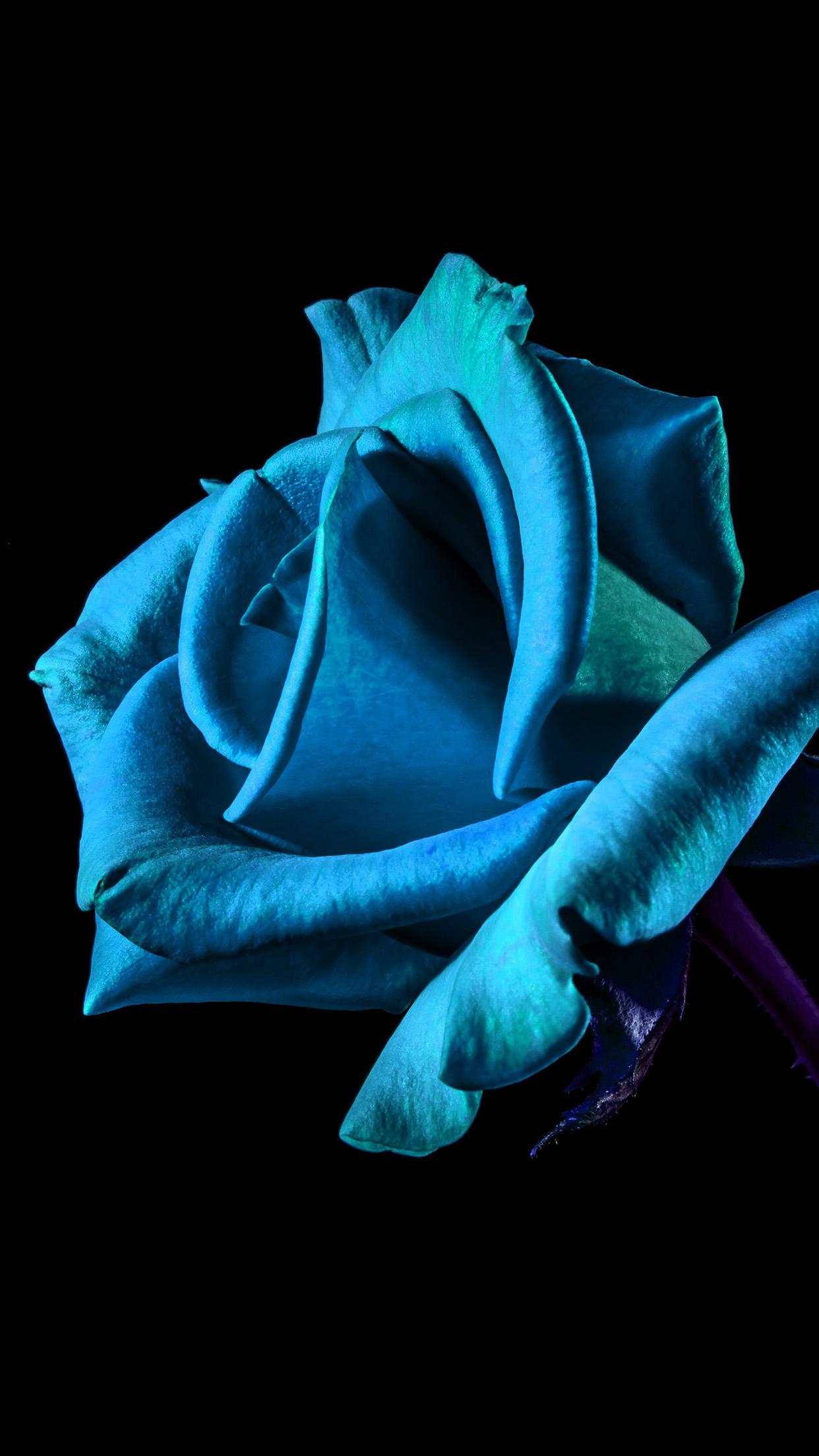 Flower Rose Blue Dark Beautiful Best Nature Android Wallpaper
