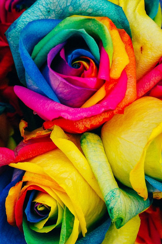 Flower Rose Color Rainbow Art Nature Android wallpaper