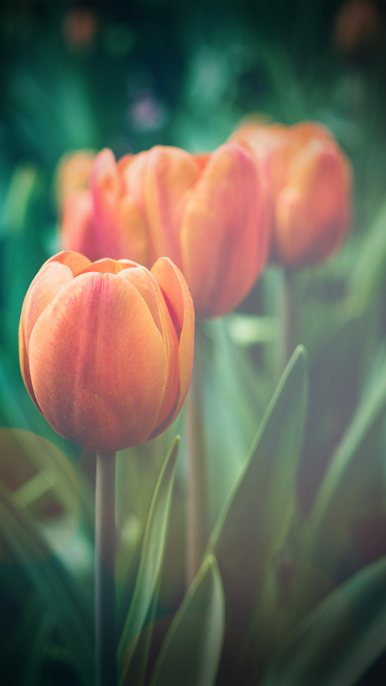 Flower Tulip Green Vignette Love Nature Android Wallpaper