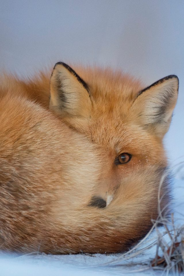 Fox Cold Winter Red Nature Android wallpaper