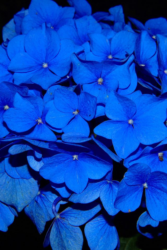 Hydrangea Blossom Flower Blue Dark Nature Android wallpaper