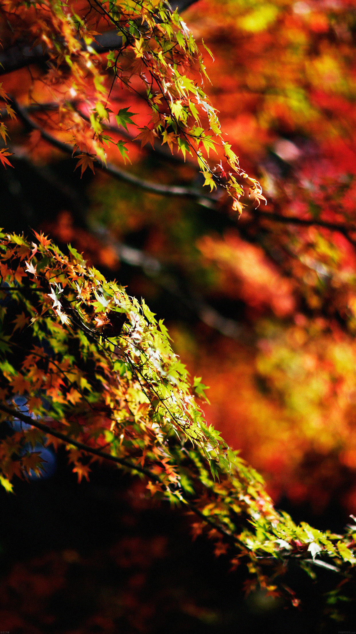 Japanese Maple Tree Fall Nature Android wallpaper
