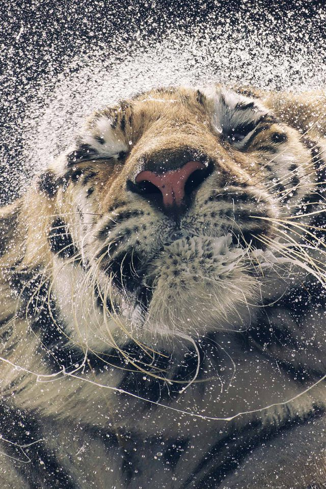Kanja Shaking Tiger Water Animal Android wallpaper