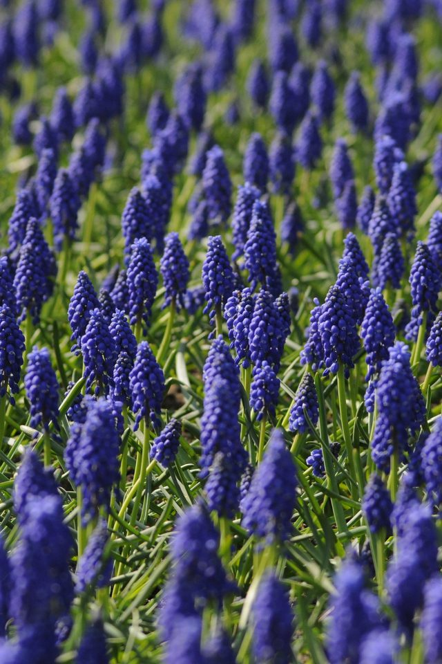Muscari Field Flower Summer Nature Android wallpaper