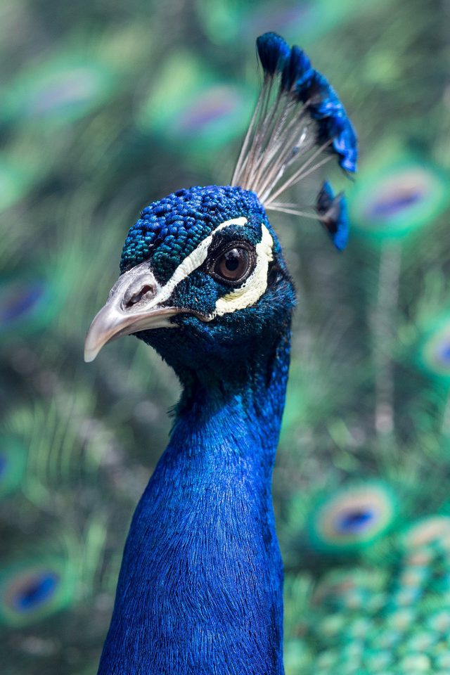 Peacock Animal Bird Nature Blue Android wallpaper
