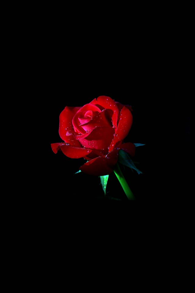 Red Rose Dark Flower Nature Android wallpaper