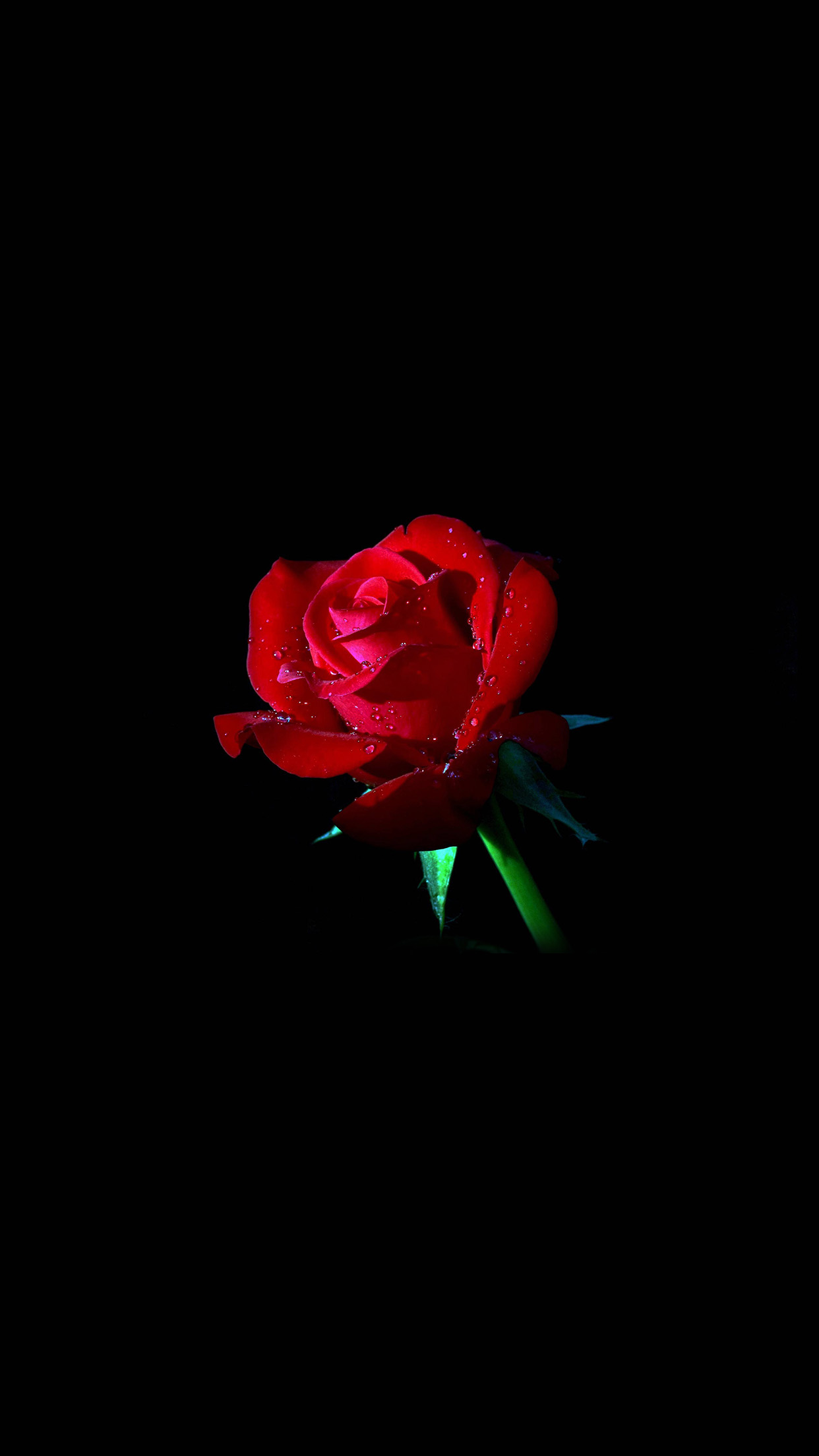 red rose dark flower nature