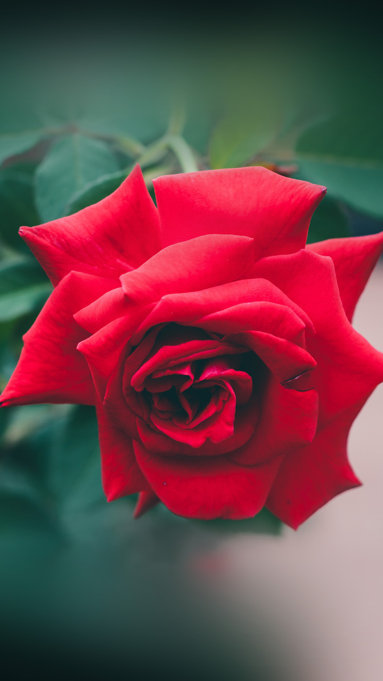 Red Rose Nature Flower Wood Love Valentine Android Wallpaper