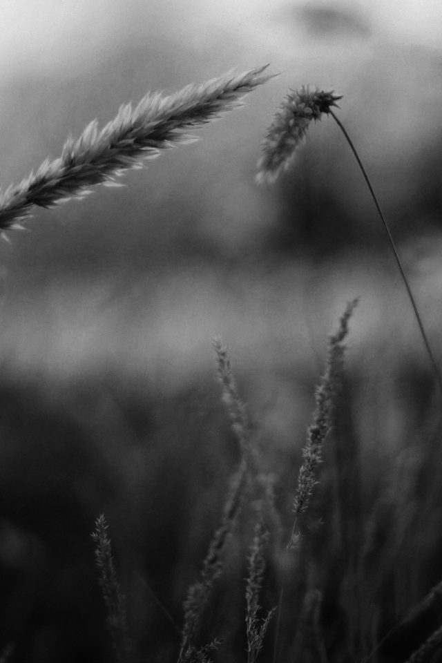 Reed Flower Nature Field Bw Android wallpaper