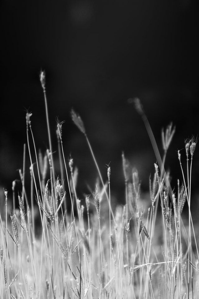 Reed Weed Flower Nature Flare Black Bw Android wallpaper